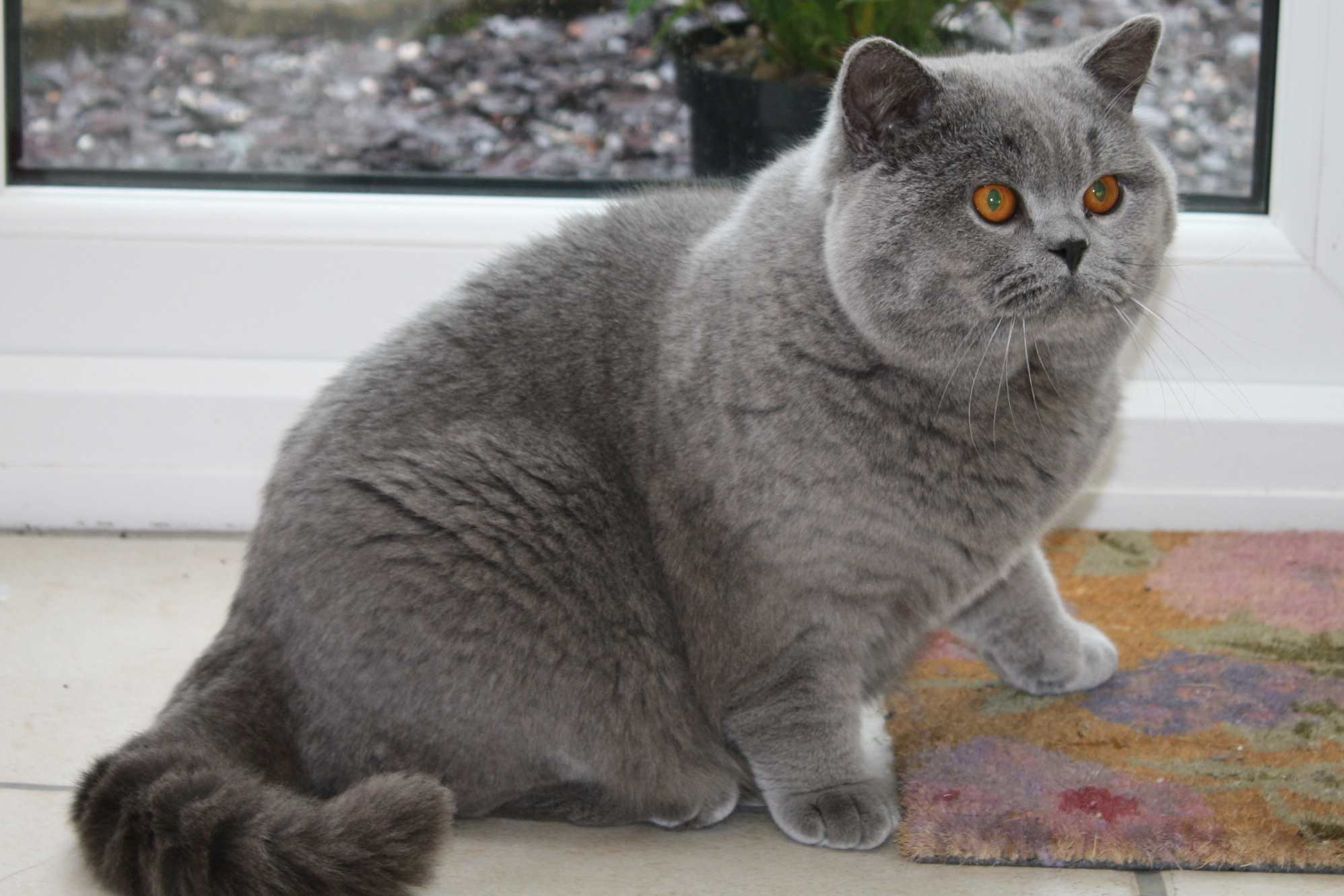 British shorthair cat breeders uk – Popular breeds of cats photo blog